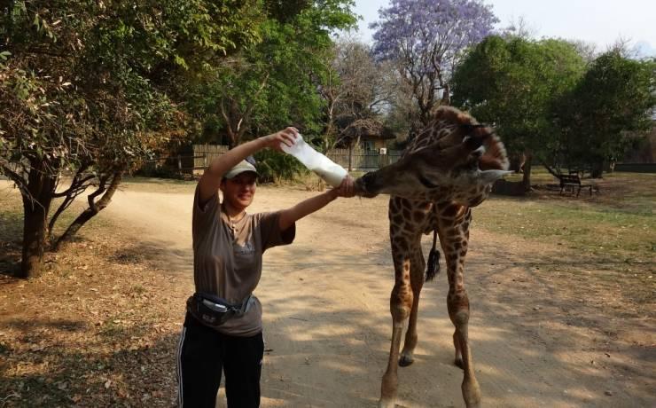 Karmienie osieroconej żyrafy mlekiem z butelki