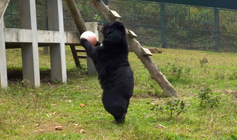 Niedźwiedzica bawi się różową piłką