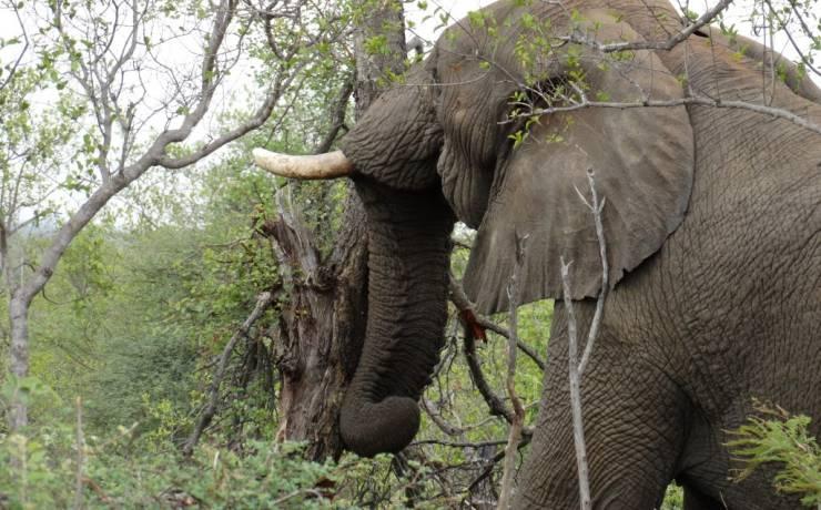 Słoń, który powalił drzewo