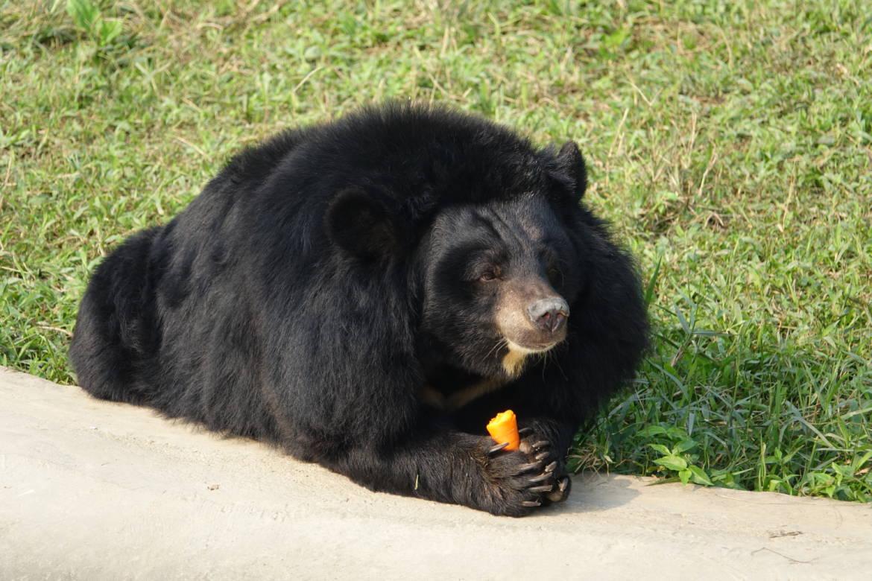 niedźwiedź-himalajski.jpg