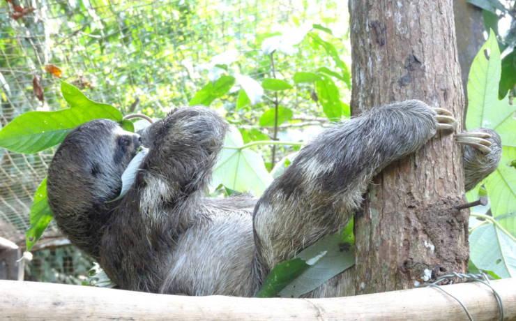 Zawieszony leniwiec