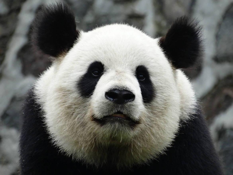 Becząca panda