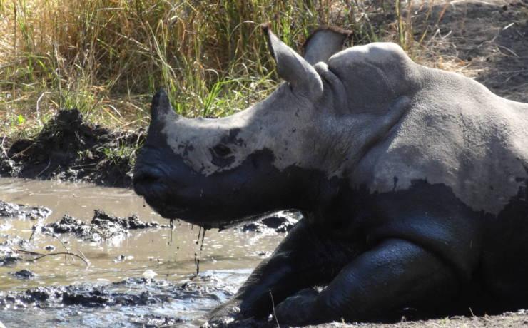 Kąpiel błotna nosorożca