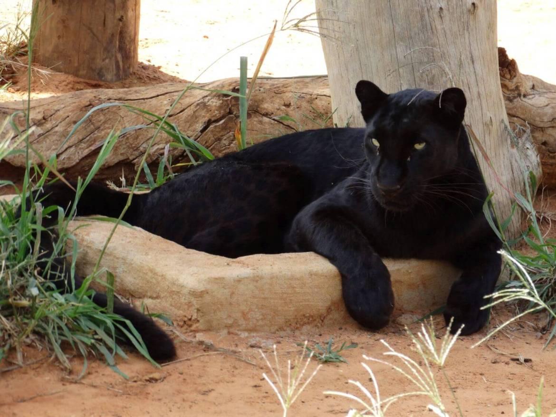 137-Panthera.jpg