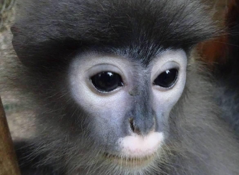 Piggy, hiponotyzująca małpka