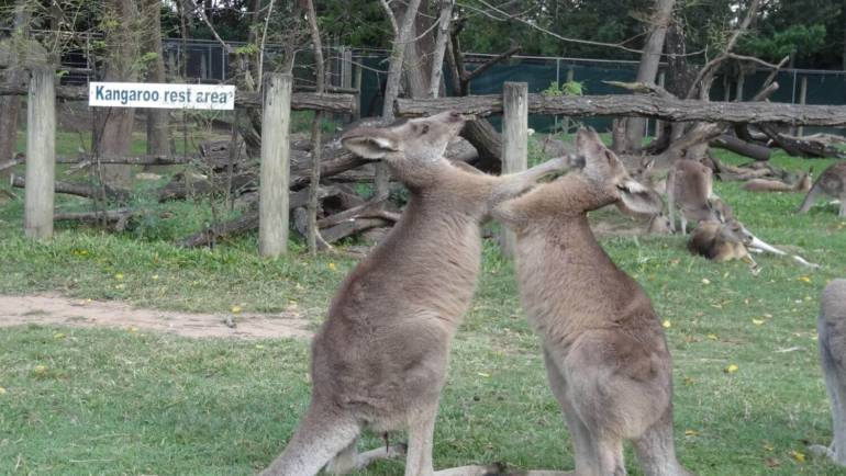 Boksujące kangury