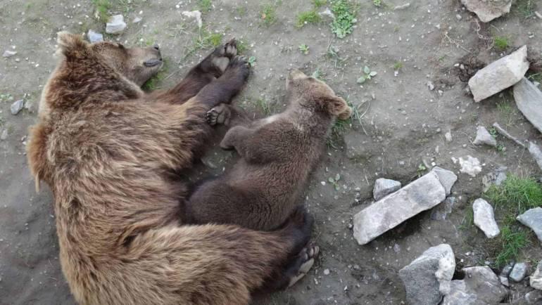 Drzemka niedźwiadka z mamą