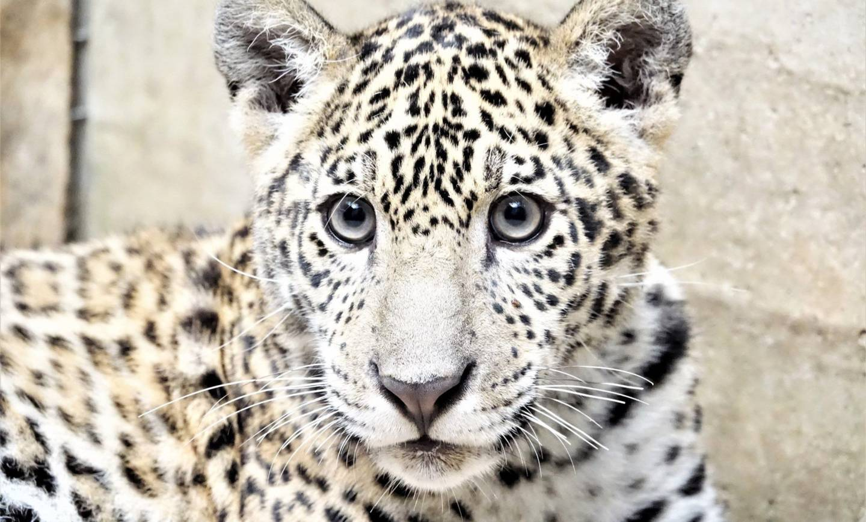 Uratowany jaguar