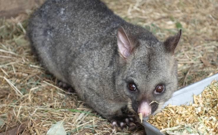 Niezwykła przyjaźń kitanki lisiej z wombatami