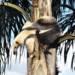 Tamandua południowa