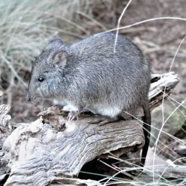 Kanguroszczur myszaty