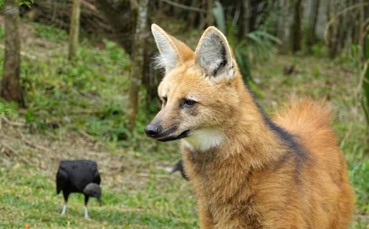 Niezwykłe spotkania z wilkiem